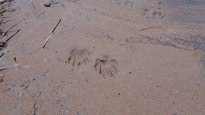 We tagged these as beaver tracks...are we right?
