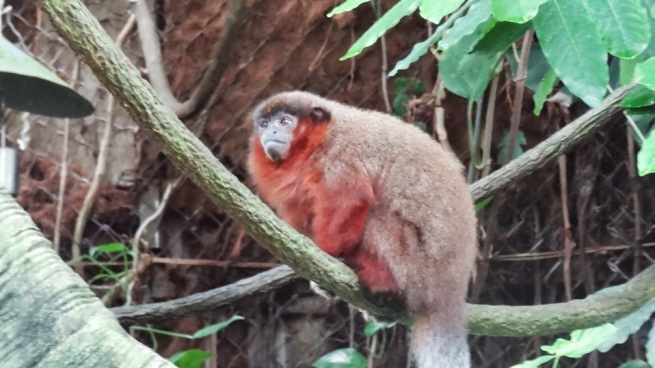 These little monkeys run virtually free in the Zoo's Amazonia. This guy got within about a foot of me.