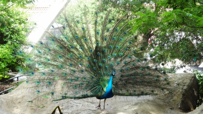 The peacock at full display! Quite a treat!