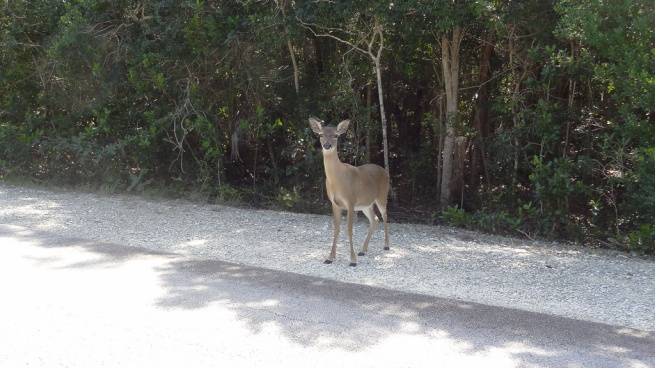 The cutest and cuddliest deer ever: The Key Deer around No Name Key