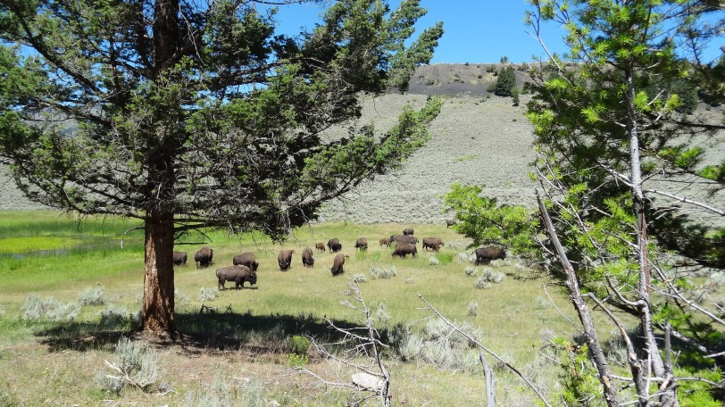 A herd of buffalo on the road towards Cooke City.
