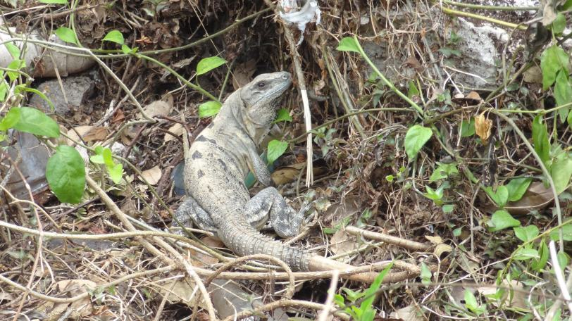 An iguana playing through the weeds in an empty lot in San Miguel